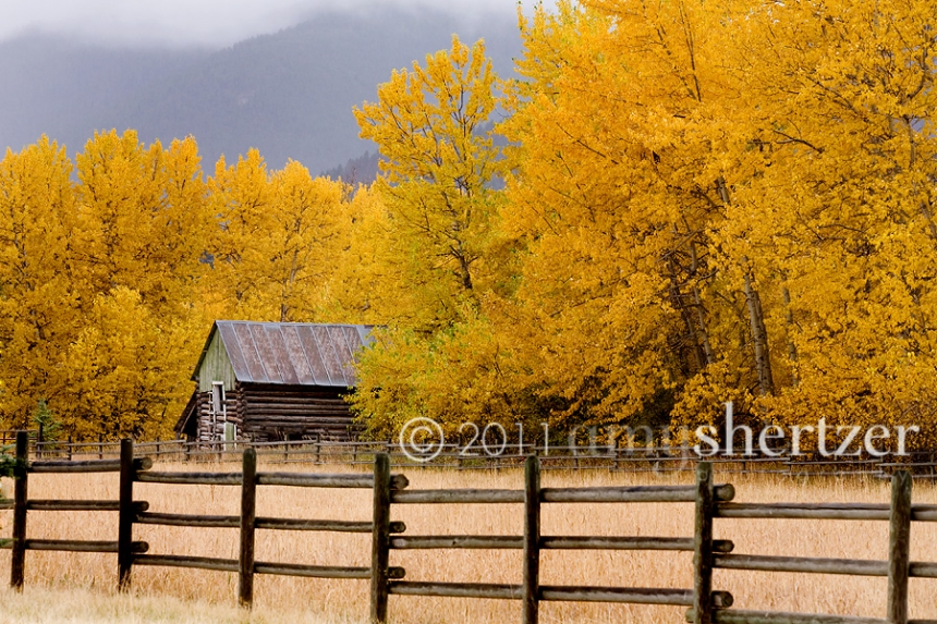 Beautiful golden yellow colors grace the Montana landscape this fall.