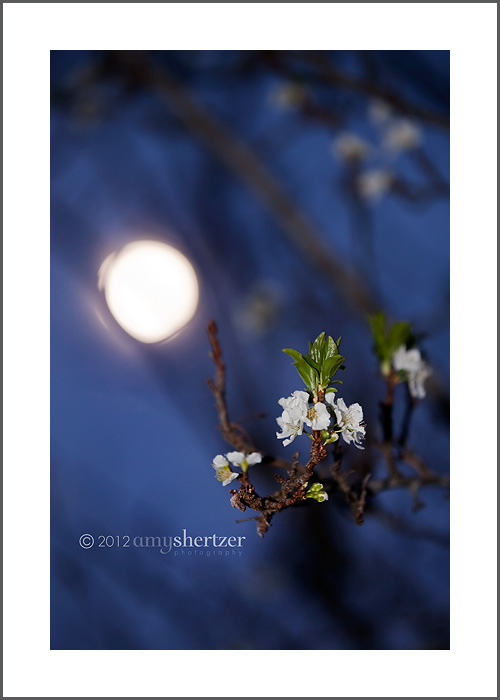 A full moon shines through the branches of a plum tree showing spring blossoms.