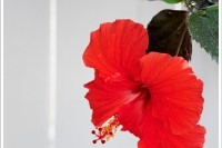 A red hibiscus pops against a white fence.