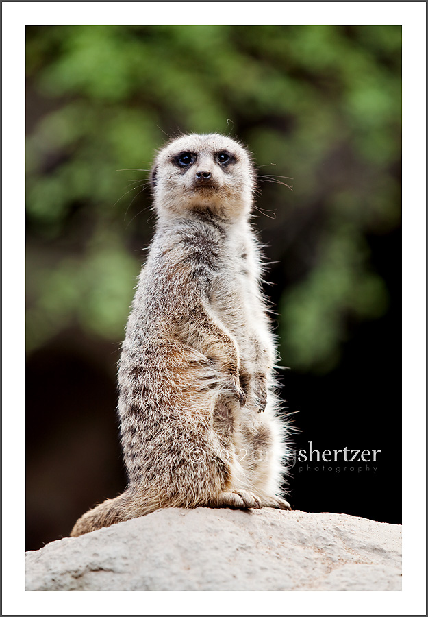 A meerkat stands guard at the zoo.
