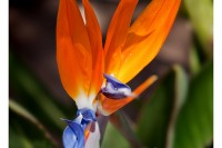 Bright orange and purple Bird of Paradise flower jumps out sharply against a background of dark green foliage.